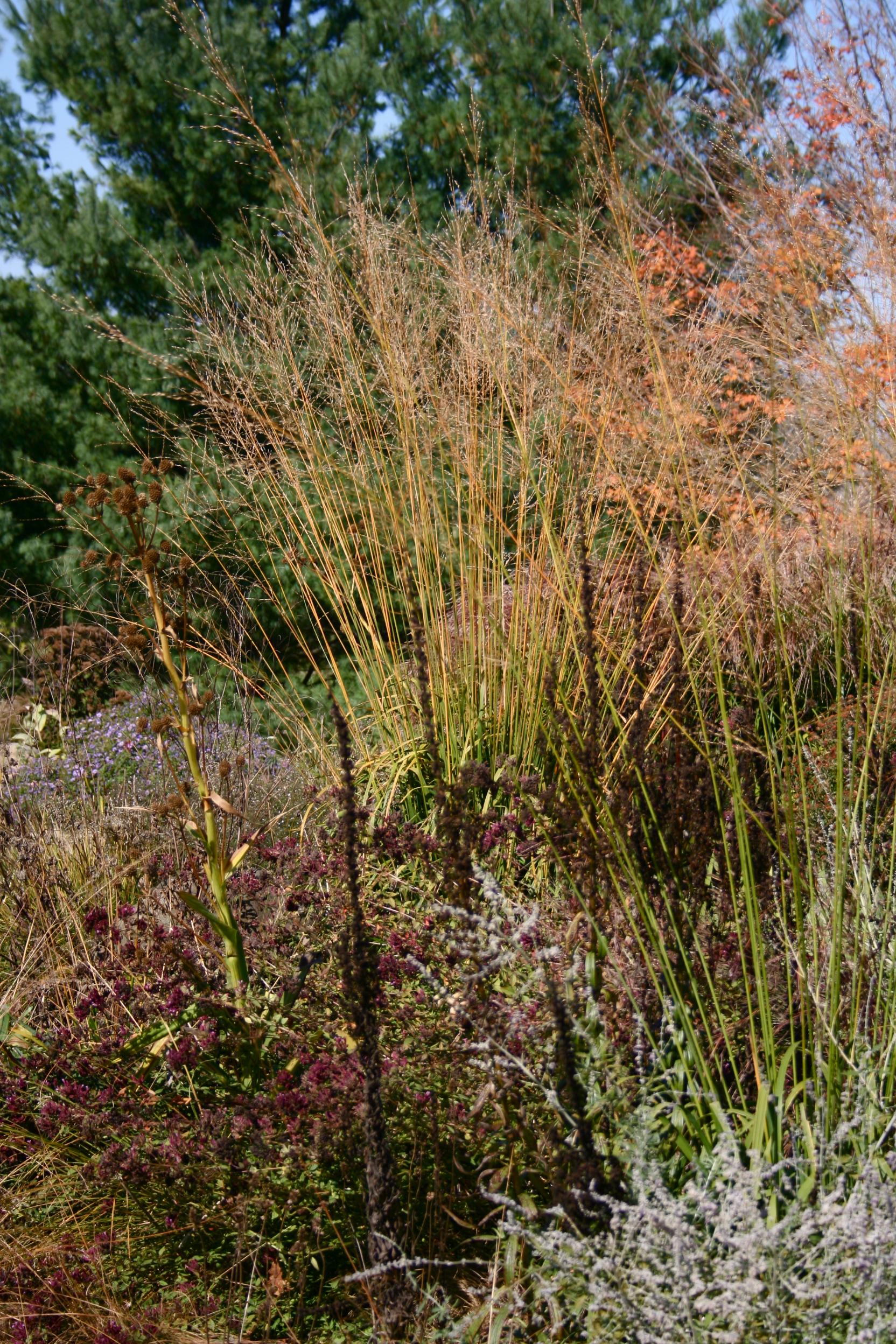Ornamental grasses for fall plantstudios for Different ornamental grasses
